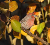House Finch #2323