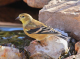 American Goldfinch #3298