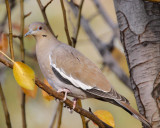 White-winged Dove #3851