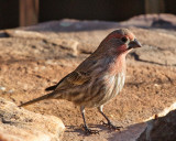 House Finch, Looking for a Afternoon Snack #3990