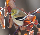 American Goldfinch #4141