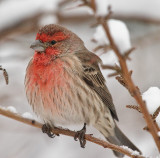 House Finch weathering the storm #4548