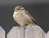 House Sparrow #5149