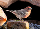 House Finch #5165