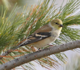 American Goldfinch #5214