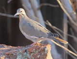White-winged Dove #5671