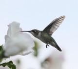 Broad-tailed Hummingbird (9249).jpg