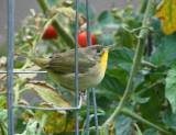 Common Yellowthroat (Female) (6448)