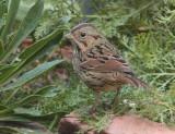 Lincoln's Sparrow (6739)