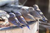 Western Bluebirds (9380)