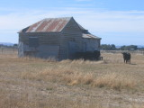 Shed and cows