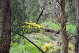 Wattle landscape