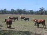 Yersey cows