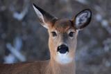 White- tailed Deer