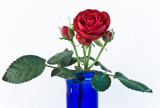 Red rose for blue PBasers