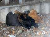 Kyllingerne er blevet store nu men Mulle passer stadig godt på dem