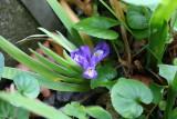 Iris Lacustris