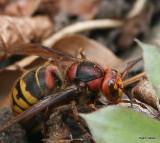 Wasp 4½ cm.