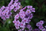Androsace sarmentosa