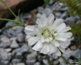 Silene alpestris flora plena