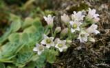 Rosularia plathyphylla