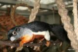 Callosciurus prevosti (Malaysia)