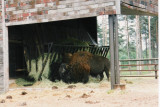 High Charparral bison.