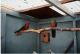 Konge parakiter