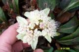 Chrysoplenium macrophyllum