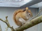 Hudson Squirrel