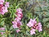 cneorum variegata