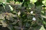 Podophyllum sp.