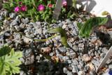 Pinellia cordata