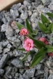Rhodohypoxis