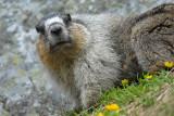 Hoary Marmot at Lake O'Hara