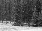 Wolf pictures of video
