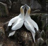 Gannets at Cape St Mary's