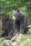 Grizzly Bear near Fish Creek