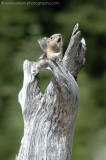 Golden-mantled Ground Squirrel doing a morning work-out