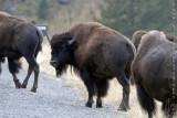 Bison & Pronghorn