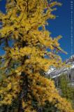 Autumn Larch on the Opabin Plateau