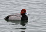 Red Head Male
