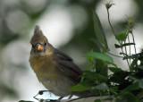 Junior (Juvenile Northern Cardinal Female)