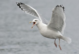 Caspian gull adult winter