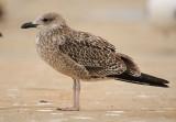 Yellow-Legged-Gull-juvenile-Algrave-okt-2012.jpg
