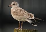 Common-Gull-okt-Grou-Holland-Juvenile.jpg