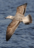 Caspian-gull-first-winter-march-2012-grou-holland.jpg