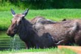 Bathing moose