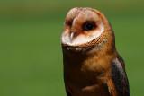 Beautifull owl