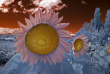 Infrared Sunflowers